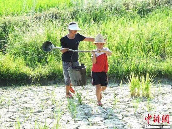 遭受持续一个多月高温干旱的湖南省安仁县,进入8月以来气温一直在39上下徘徊,致使全县5万多亩晚稻和农作物受灾。面对旱灾,农民们千方百计抗旱保苗。在安仁县永乐江镇桥南村的田间地头,8岁的留守儿童侯强和69岁的奶奶一步一晃地用桶抬水抗旱。侯强的父母都在外地打工,家里的半亩禾苗和豆苗,都靠他和奶奶抬水浇灌。何炳文 摄