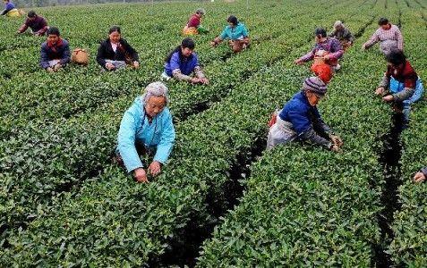 阳春三月采茶忙