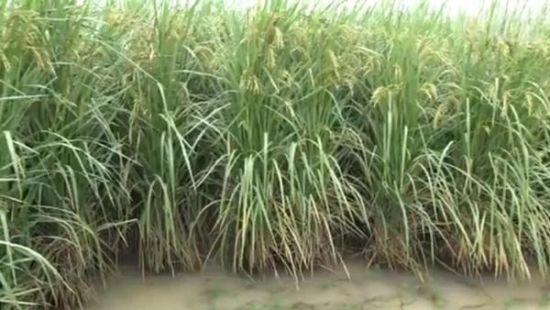 你见过2.2米高的水稻吗