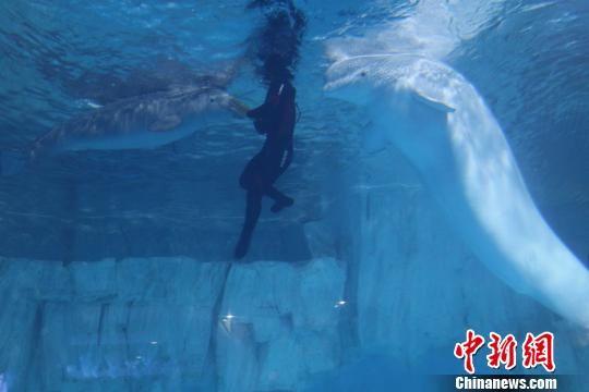 中国唯一一头人工繁殖成活小白鲸迎周岁生日