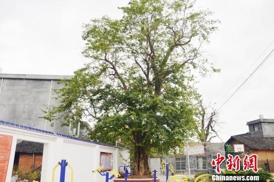 湖南江华发现一株宋朝时期珍稀青檀树 树龄近千岁