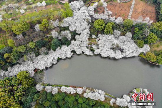 """澳门永利官网线上娱乐省植物园樱花盛开如""""春雪"""""""