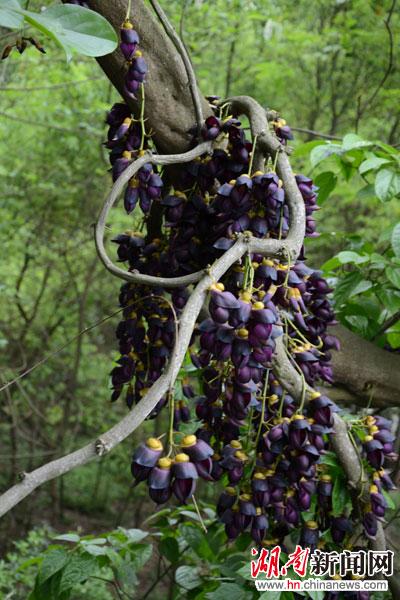 在沅陵县凤凰山森林公园望江楼意外发现了一簇形状酷似展翅欲飞鸟儿状