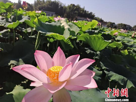 湖南醴陵上千亩荷花迎来盛花期 众游客冒暑欣赏