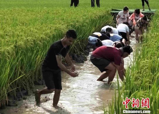 """稻花香里捕肥鱼 湖南辰溪""""鱼稻双收""""助脱贫"""